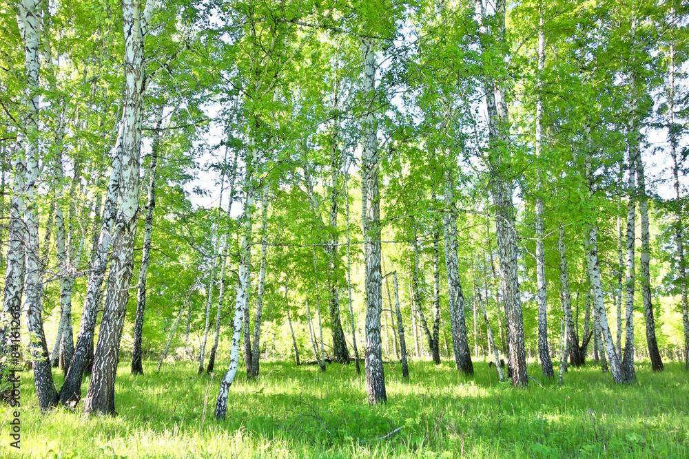 Fototapety, obrazy: Brzozowy las