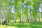 Fototapeta Landscape - birch forest