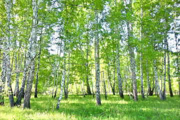 Fototapeta Brzoza birch forest
