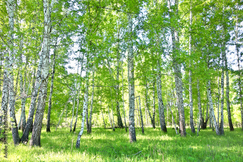 Fototapeten Wald birch forest