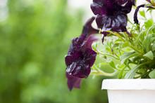 Dark Purple Petunia Flowers After Rain