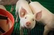 Leinwanddruck Bild - Schweinezucht,  Ferkel blickt aus einer Bucht nach oben