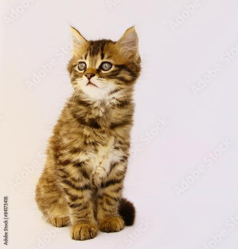 Fotografie, Obraz  adorable chaton tigré,yeux bleus,attentif,portrait assis