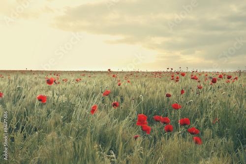 poppies field - 84177686