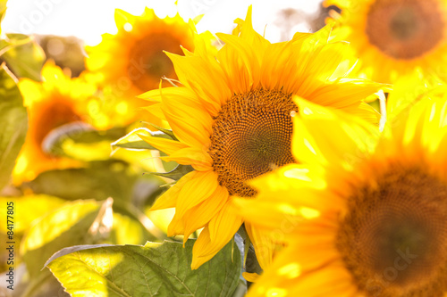 sunflowers - 84177805