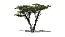 Monterey Cypress Tree  - Isolated On White Background