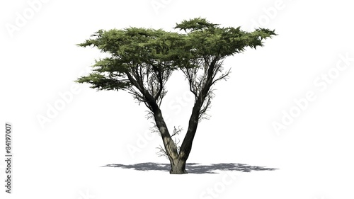 Fotografiet  Monterey cypress tree  - isolated on white background