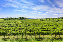 Green Vineyard Under Blue Sky