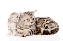 Mother Cat With Kitten. Isolated On White Background