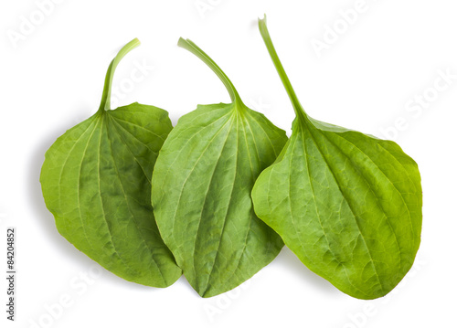 Fotografia, Obraz  greater plantain leaves