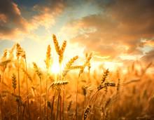 Wheat Field Against Golden Sun...