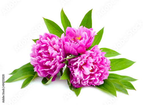 Poster Dahlia Pink peonies isolated on a white background.