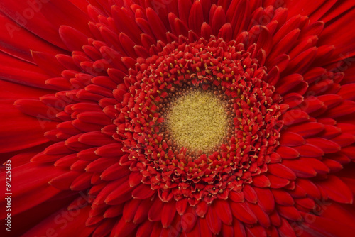 Fotobehang Gerbera Gerbera Flower