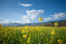 Field Of Mustard Plants