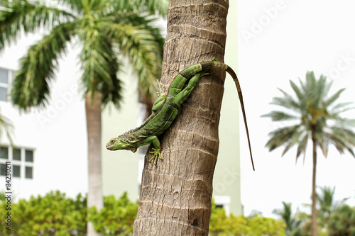 Common green iguana living in a residential neighborhood