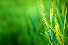 Green Wheat Head In Cultivated...