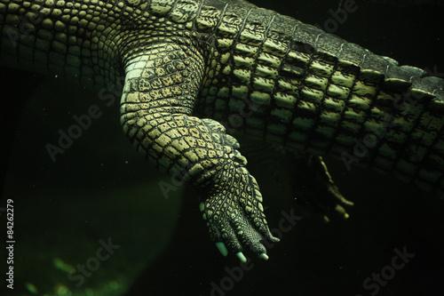 Deurstickers Krokodil Gharial (Gavialis gangeticus)