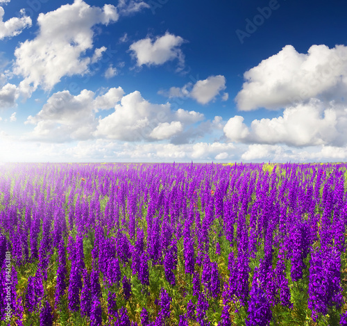 Fotobehang Violet Field with flowers. Beautiful natural landscape