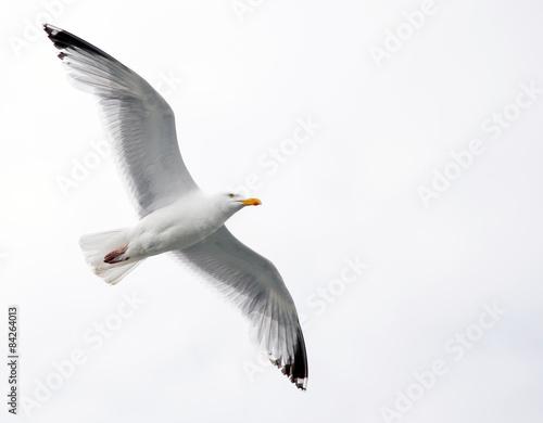 Single seagull in flight on grey sky Wall mural