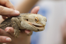 Bearded Dragon In The Hand