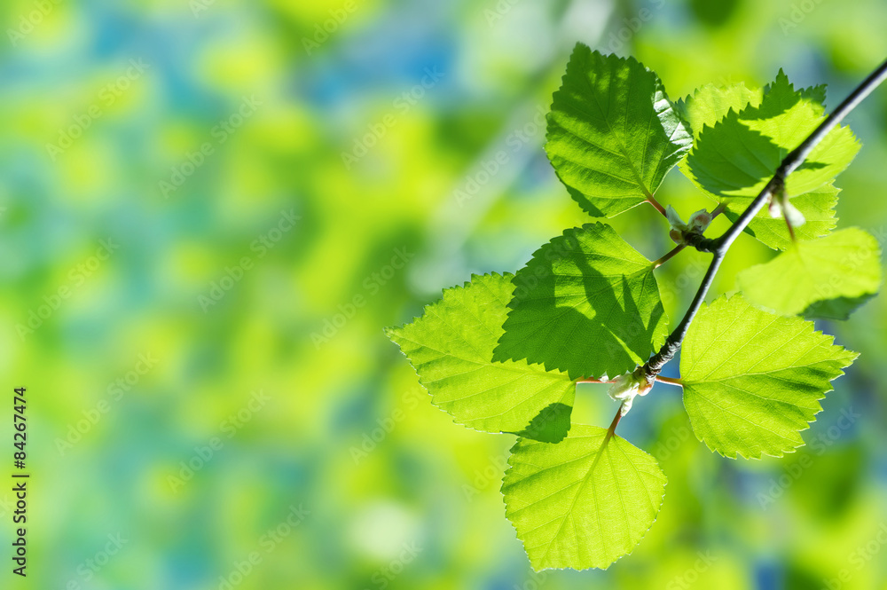 Natural background with birch branches and young bright leaves