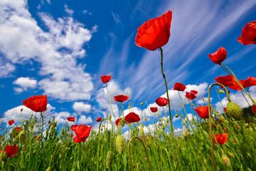 Fototapeta Poppy field