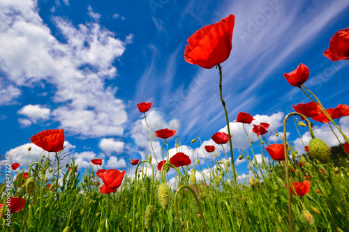 Foto op Canvas Klaprozen Poppy flowers field in summer season