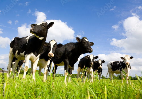 Photo Stands Cow Holstein cows