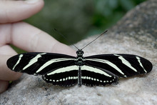 Heliconius Charithonia - Zebra Butterfly With Hand