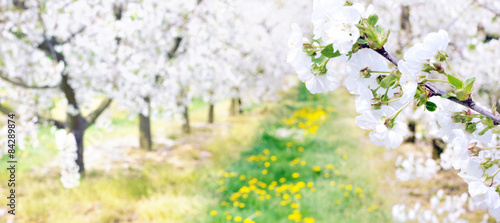 Fotografia Colorful apple orchard in the county