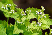Garlic Mustard (Alliaria Petiolata) With White Flowers Under The Warm Spring Sun