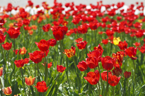 Fototapeta field of red tulips beautiful obraz na płótnie