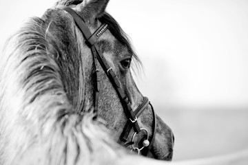 FototapetaBlack-and-white portrait of a sports stallion