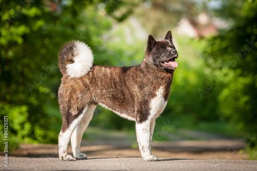 Photo American akita dog