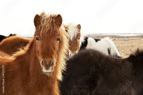 Portrait of an Icelandic pony with a brown mane Canvas Print