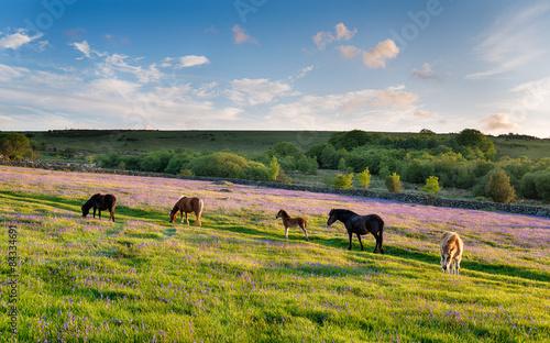 Fototapeta  Dartmoor Ponies