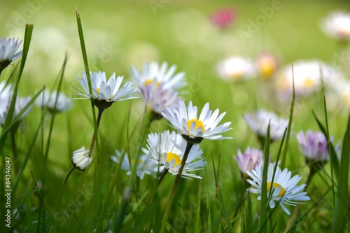 obraz dibond Glückwunschkarte - Gänseblümchen