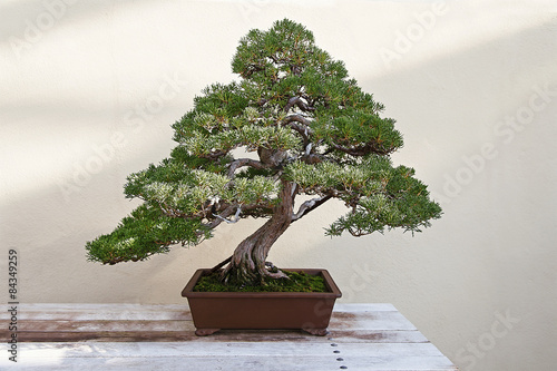 Montage in der Fensternische Bonsai Beautiful pine tree bonsai