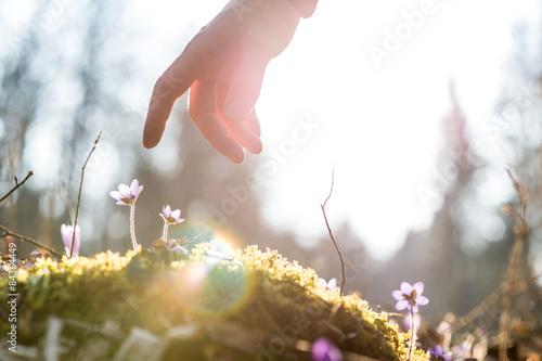 Fotografie, Obraz  Ruka člověka nad modrou květinu zpět osvětlené sluncem