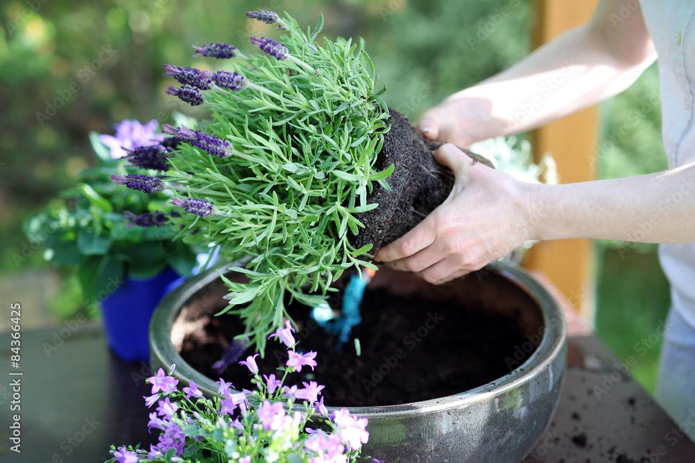 Fototapeta Lawenda, kobieta sadzi roślinę w donicy