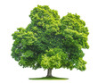 Leinwanddruck Bild - Green maple tree isolated on white background