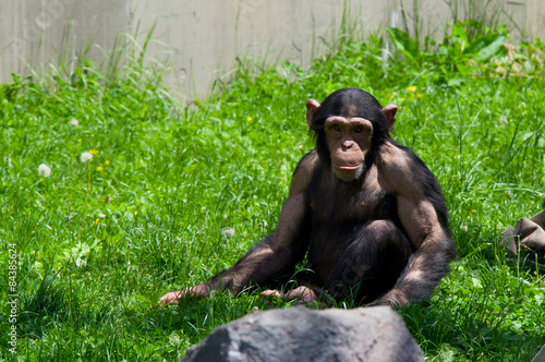 Foto op Aluminium Aap chimpanzee