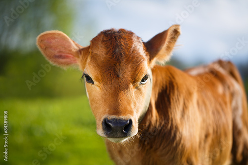 Fotobehang Koe young cow