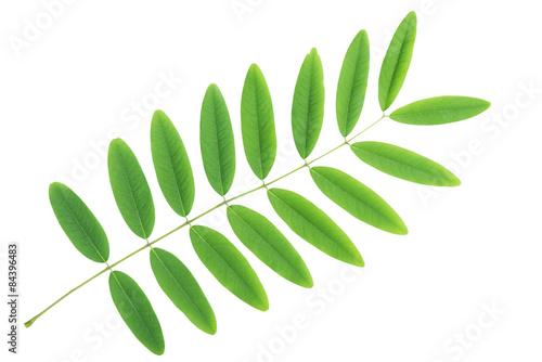 Fotografia  Cassia siamea leaf isolated with clipping path