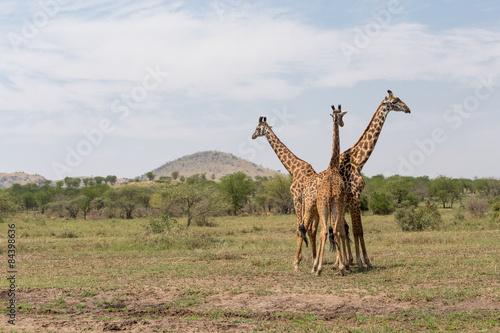 Three Giraffes in the Serengeti Canvas Print
