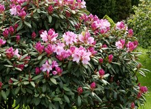 Bush Of Rhododendron With Pink Flowers