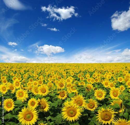 In de dag Zonnebloem sunflowers field
