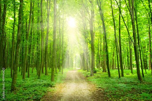 sunlight forest #84443620