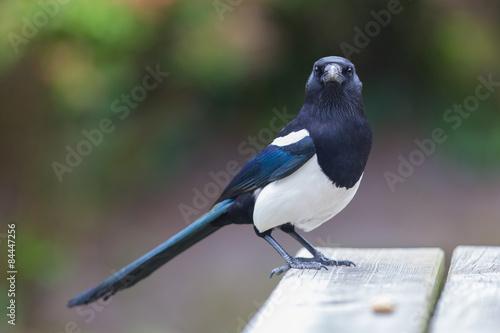 Fotografie, Obraz European Magpie (pica pica)