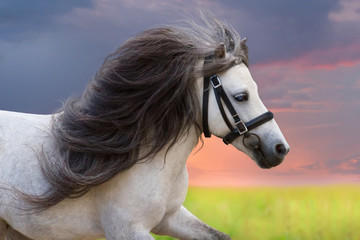 Fototapeta Koń Grey pony with long mane portrait against sunset sky